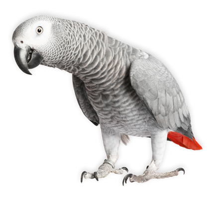 Gray parrot Jaco on a white background