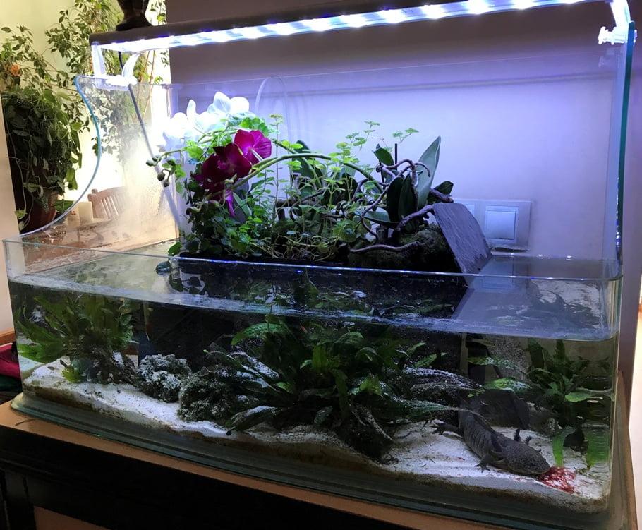 acuario ajolotes cvsauces24h