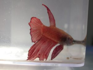 betta splendens dermatitis aletas cvsauces24h