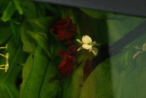 betta splendens hosp cvsauces24h