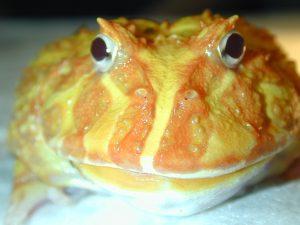 ceratophrys cranwelli hosp cvsauces24h