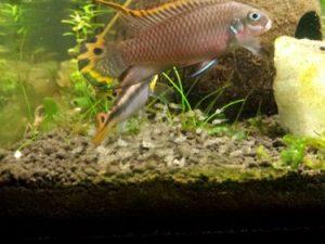 pelvicachromis alevines cvsauces24h